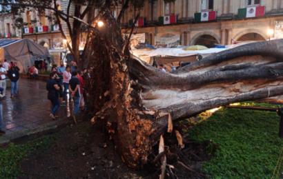 Cae árbol en pleno zócalo de la ciudad