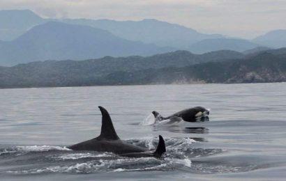 En Oaxaca continúan los avistamientos atípicos: Tres orcas cazan a un pez luna